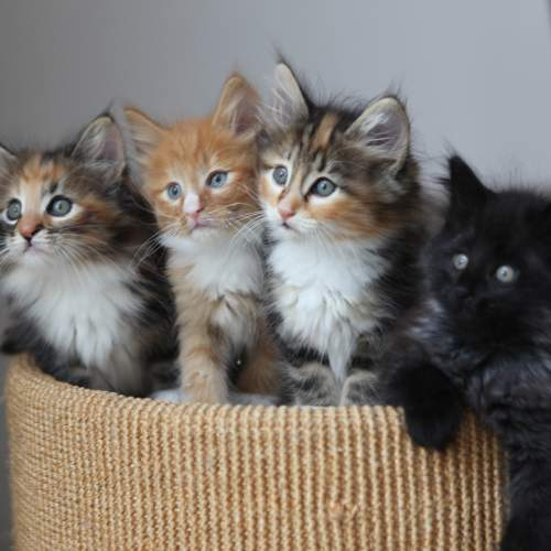 A picture of four kittens with big blue eyes. The furthest left is ginger and black, the second left is ginger, the third is ginger and black, and the further right is all black. They are extremely fluffy.