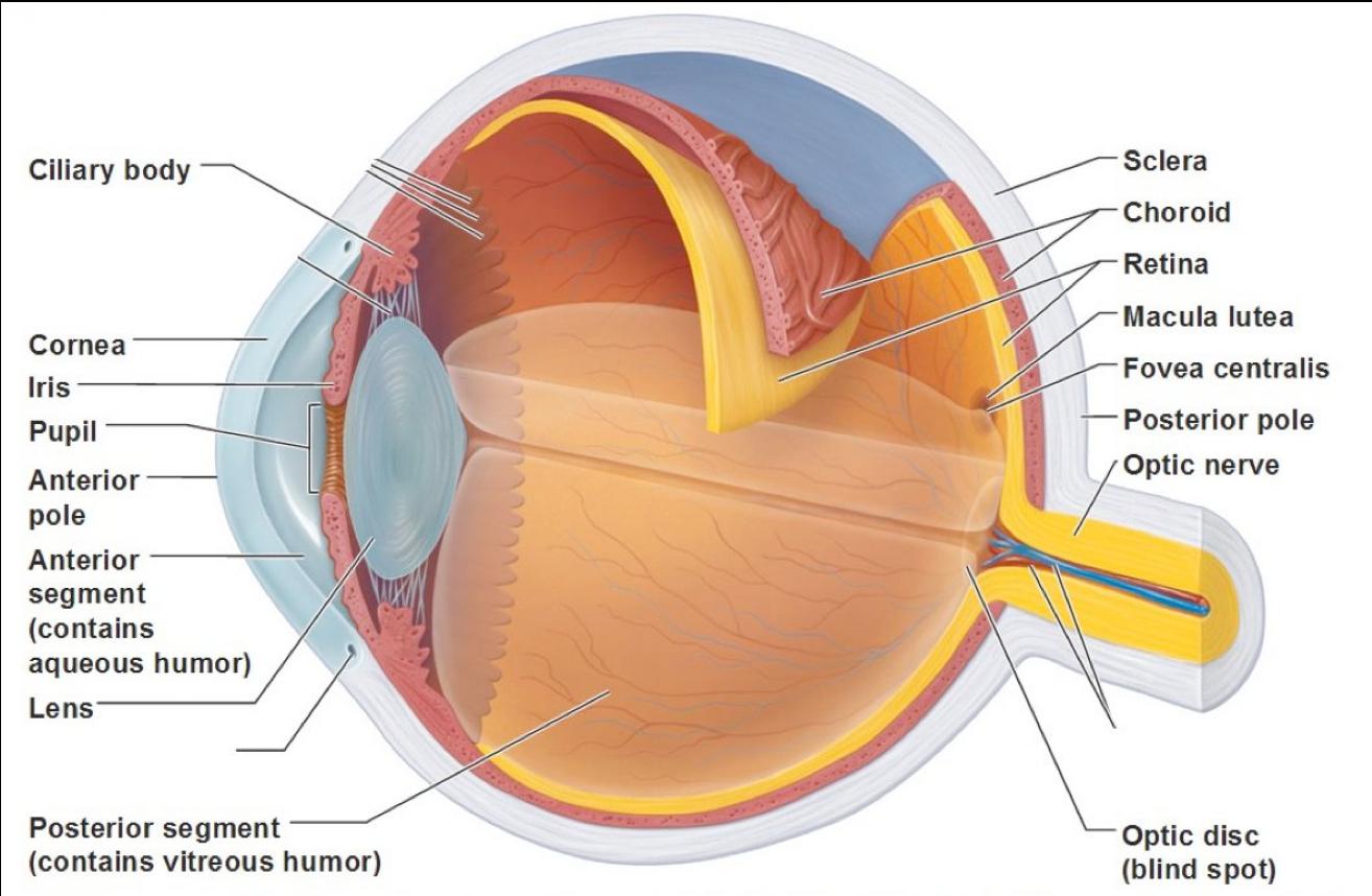 The Eye and the Retina | RetinaLyze System A/S - Help Center